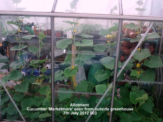 Allotment_cucumbers_marketmore_seen_from_outside_greenhouse_07_07_2012