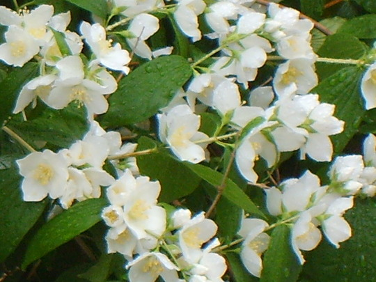 Blossomgrannycharlie_260608_009