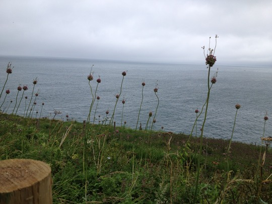 Aliums_near_port_isaac