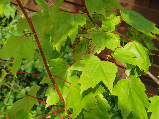 Red_maple_2