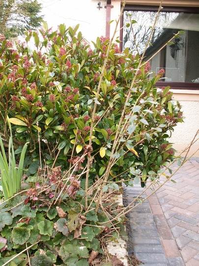 Cotoneaster_3