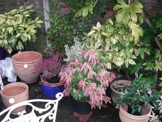 PIERIS PINK DELIGHT 2 LITRE LARGE PLANT