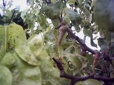 Pear_tree_003