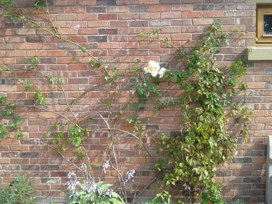 Rose_2015_2