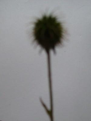 Seed_head_2