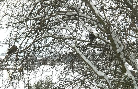 Birds_in_the_tree