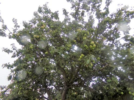 Apple_tree_back_garden_2018