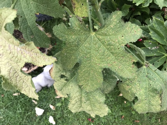 My_hollyhock_leaf