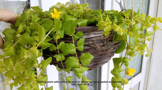 Trailing_plant_with_yellow_flowers_in_wicker_hanging_basket_on_balcony_16th_june_2018