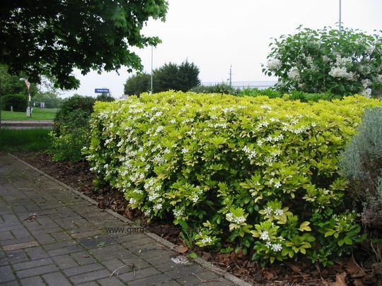 Choisya_ternata_mexican_hedge_original