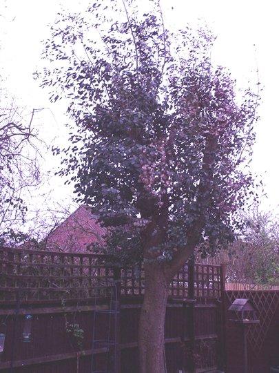 Eucalyptus_tree_003