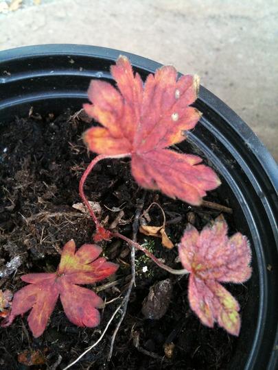 Geranium_seedling_3