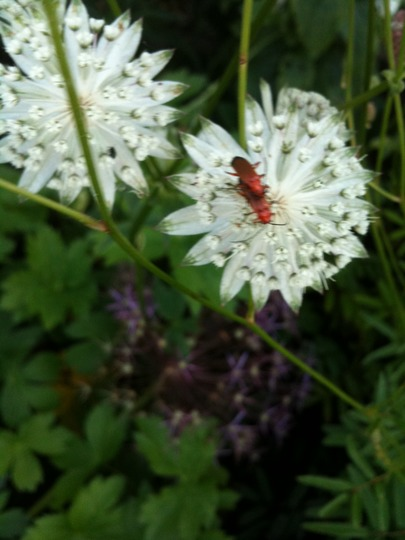 Red_bugs_on_astrantia_snow_star