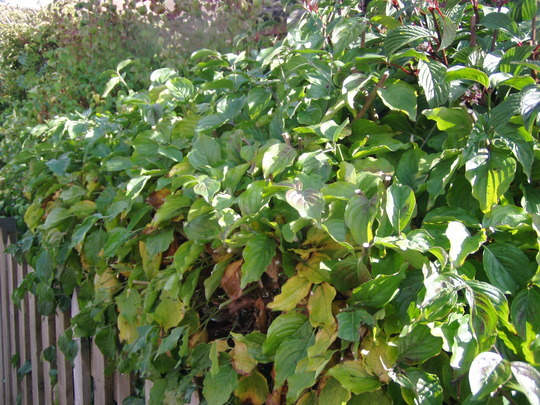 Similar_leaved_bush