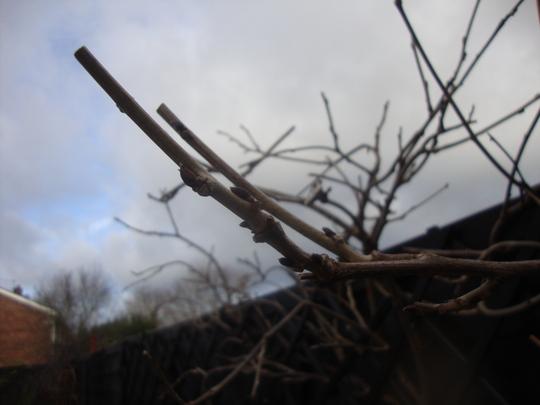 Pruned_wisteria_jan_2012_006