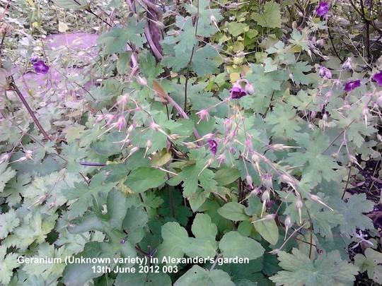 Geranium_unknown_variety_in_alexander_s_garden_13_06_2012_003.jpg