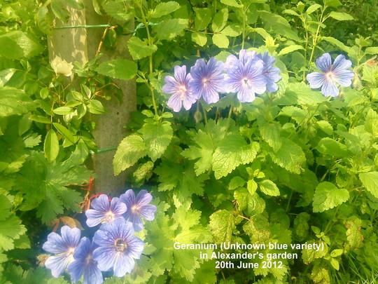 Geranium_unknown_variety_in_alexanders_garden_20_06_2012