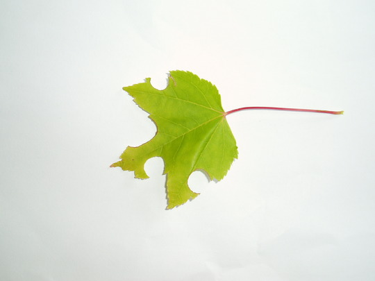 Red_maple_leaf_eaten