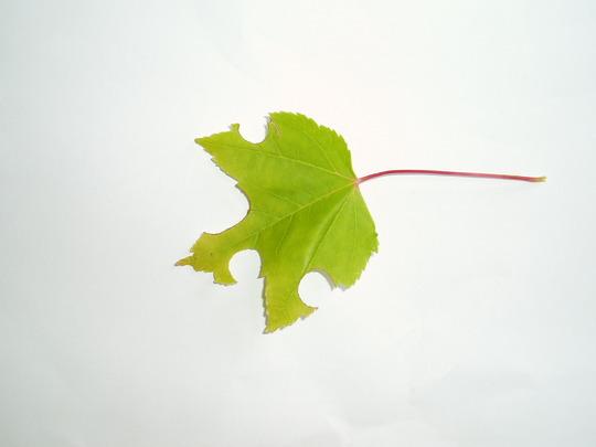 Red_maple_leaf_eaten
