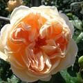 Dsc00529_2_gorgeous_rose