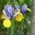 shirley_tulip