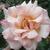 rosepetal2