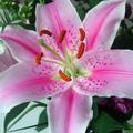 lillyrose
