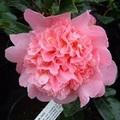 Camellia_elsie_jury