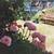 driad