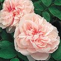rosegardener