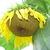 sunflowerrookie