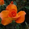rosegit