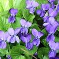 dog_violet