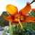 mrs_crocosmia