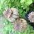 poppyseed