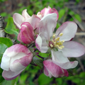Apple_blossom2