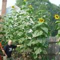 sunflower_info