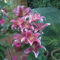 sparklepinksunflower