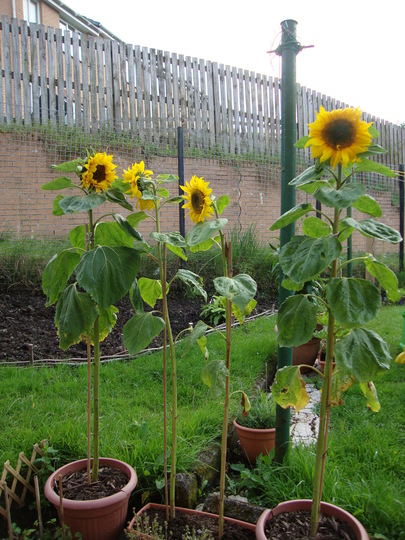 Yes 84 Sunflowers Ha Me Thinking Ill Have Giant This Year Of The I Think About 35 Germinated And Got Potted On