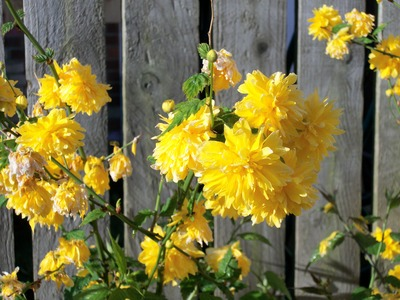 Yellow flower bush identifier o2 pilates can anyone identify this prolific flowering shrub grows on you mightylinksfo