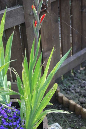 Does anyone have any idea what's eating my Gladioli leaves
